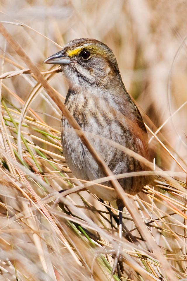 Sparrow - Seaside - South Point - Ocracoke Island, NC - 02