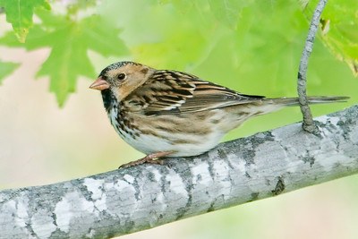 Sparrow - Harris's - Big Stone NWR - MN - 03