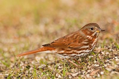 Sparrow - Fox - Dixon Lake - Itasca County, MN - 01