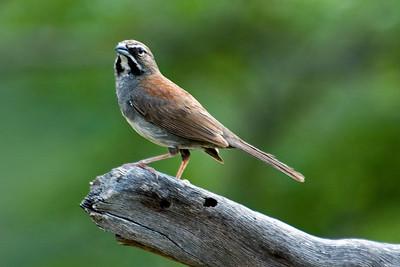 Sparrow - Five-striped - California Gulch - AZ - 01