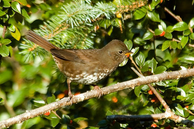 Sparrow - Fox - Sooty (Pacific) - South Slough, OR