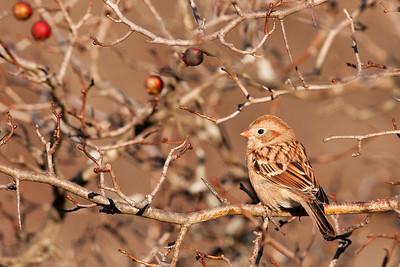 Sparrow - Field - Bay Shore Blufflands Preserve - Door County, WI - 01