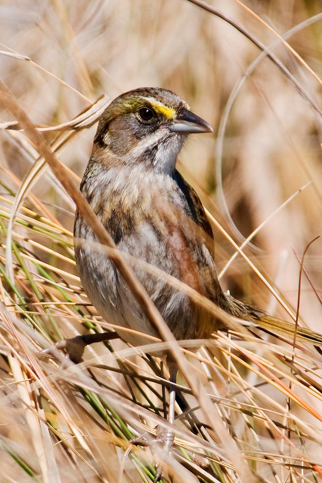 Sparrow - Seaside - South Point - Ocracoke Island, NC - 01