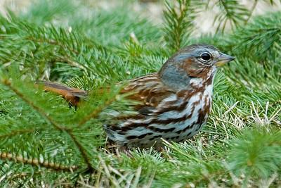 Sparrow - Fox - Dunning Lake, MN - 01