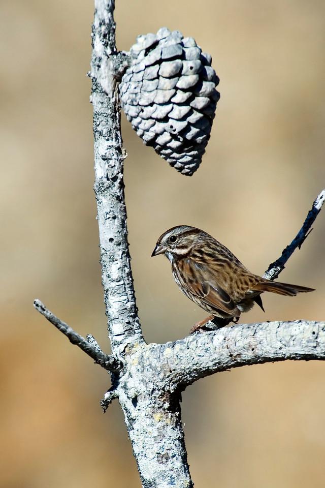 Sparrow - Song - Monterey Peninsula, CA