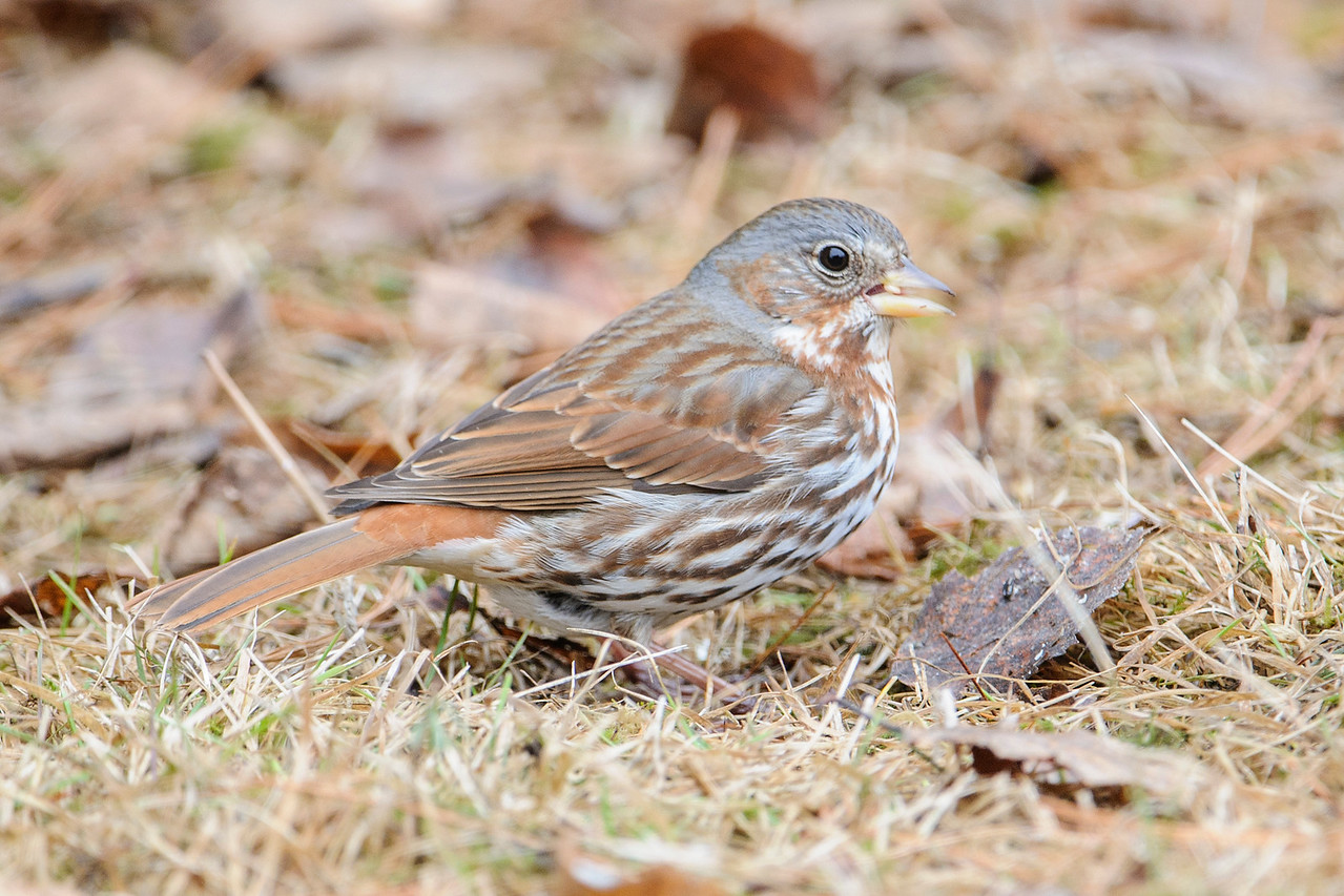 Sparrow - Fox - Dunning Lake - Itasca County, MN