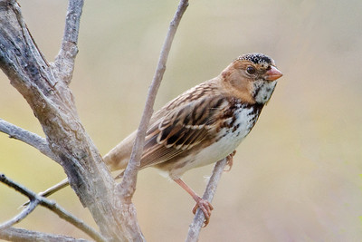 Sparrow - Harris's - Big Stone NWR - MN - 02