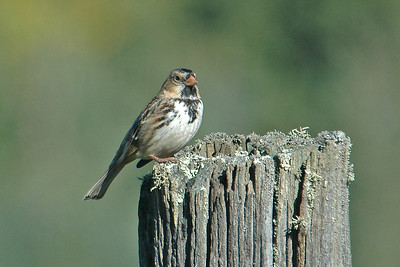 Sparrow - Harris's - Itasca County, MN