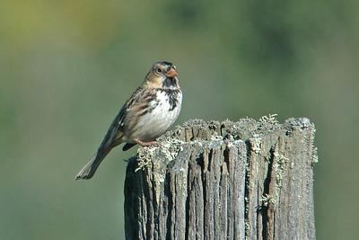 Sparrow - Harris's - Itasca County, MN