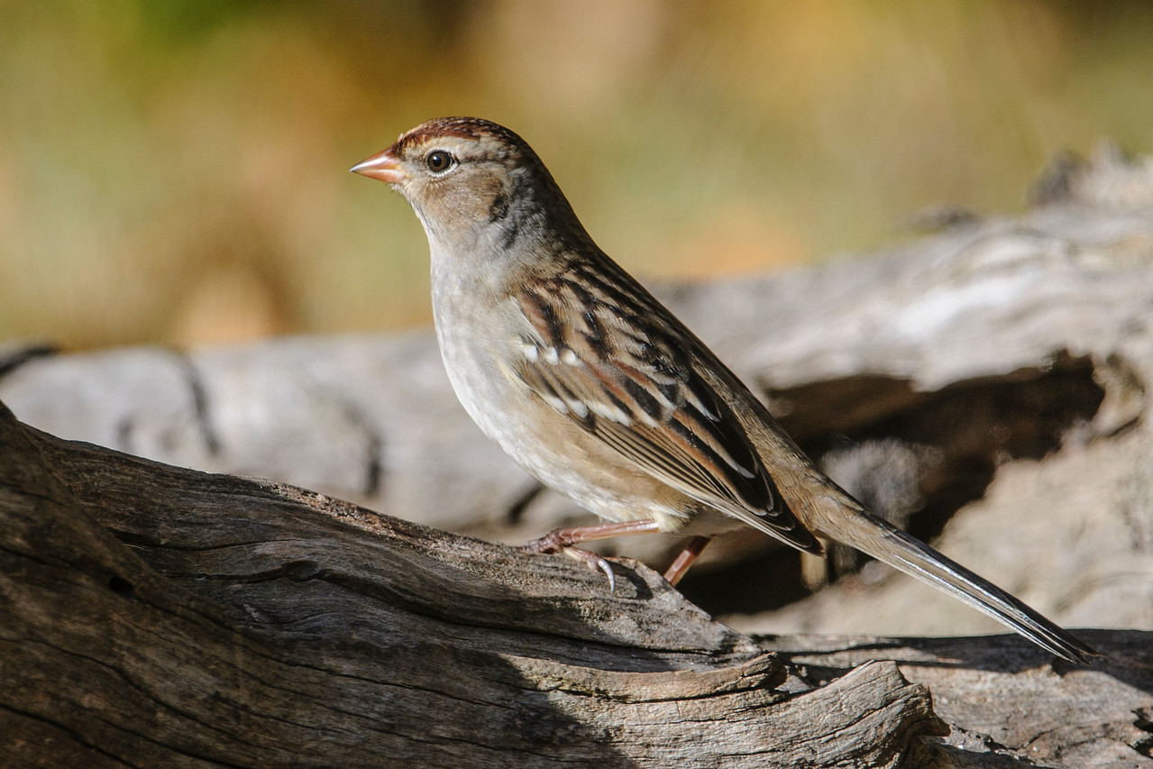 Sparrow - White-crowned - juvenile - Dunning Lake - Itasca County, MN