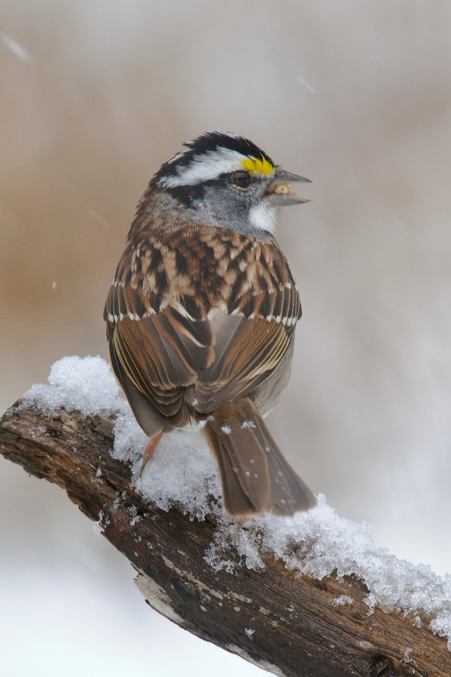 Sparrow - White-throated - Dunning Lake, MN - 11