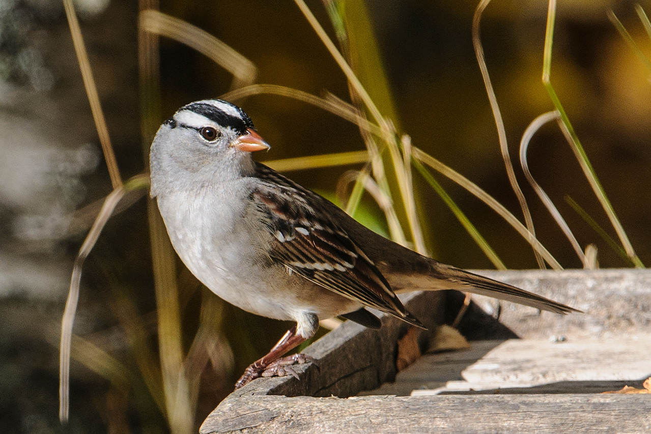 Sparrow - White-crowned - Dunning Lake - Itasca County, MN