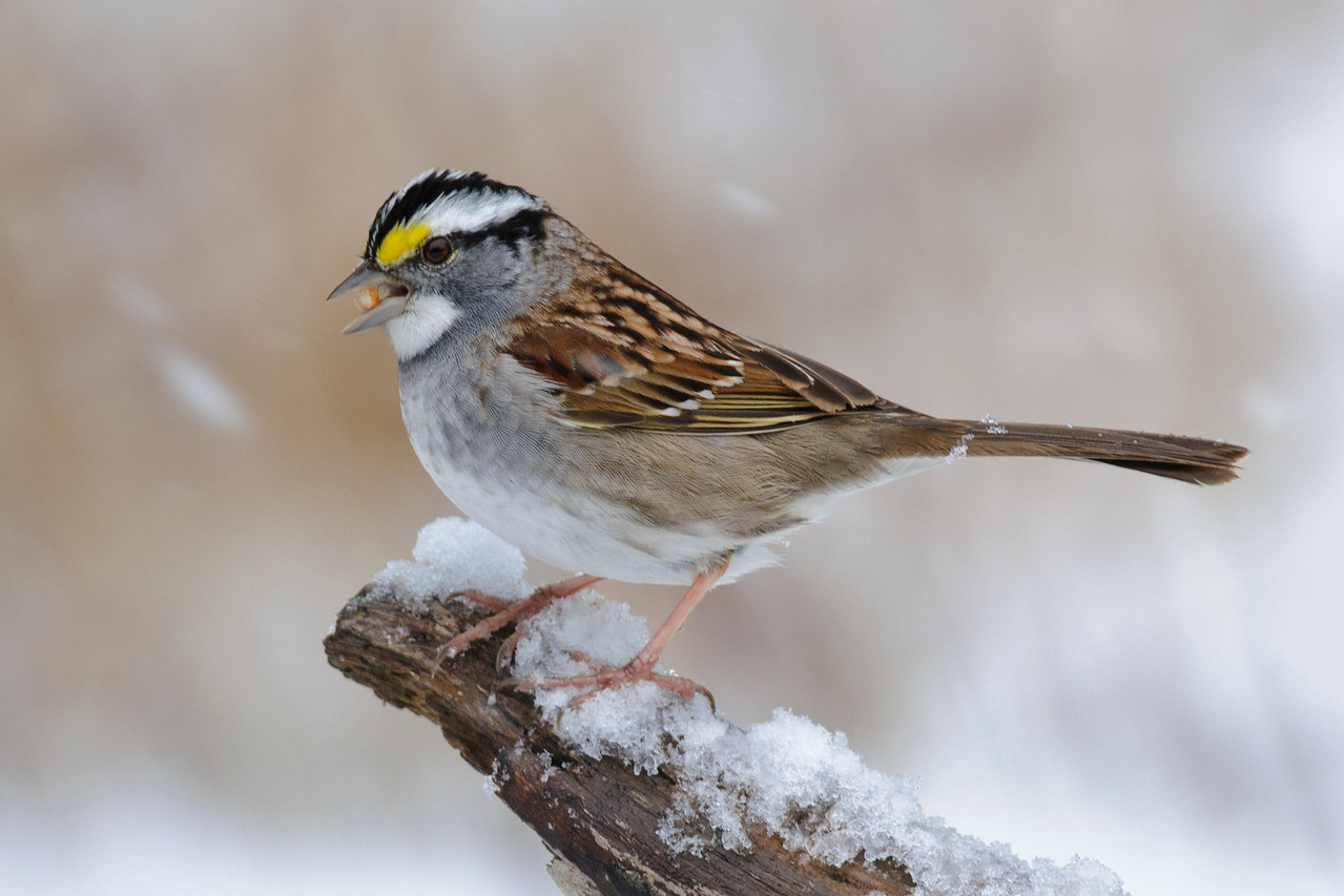 Sparrow - White-throated - Dunning Lake, MN - 09