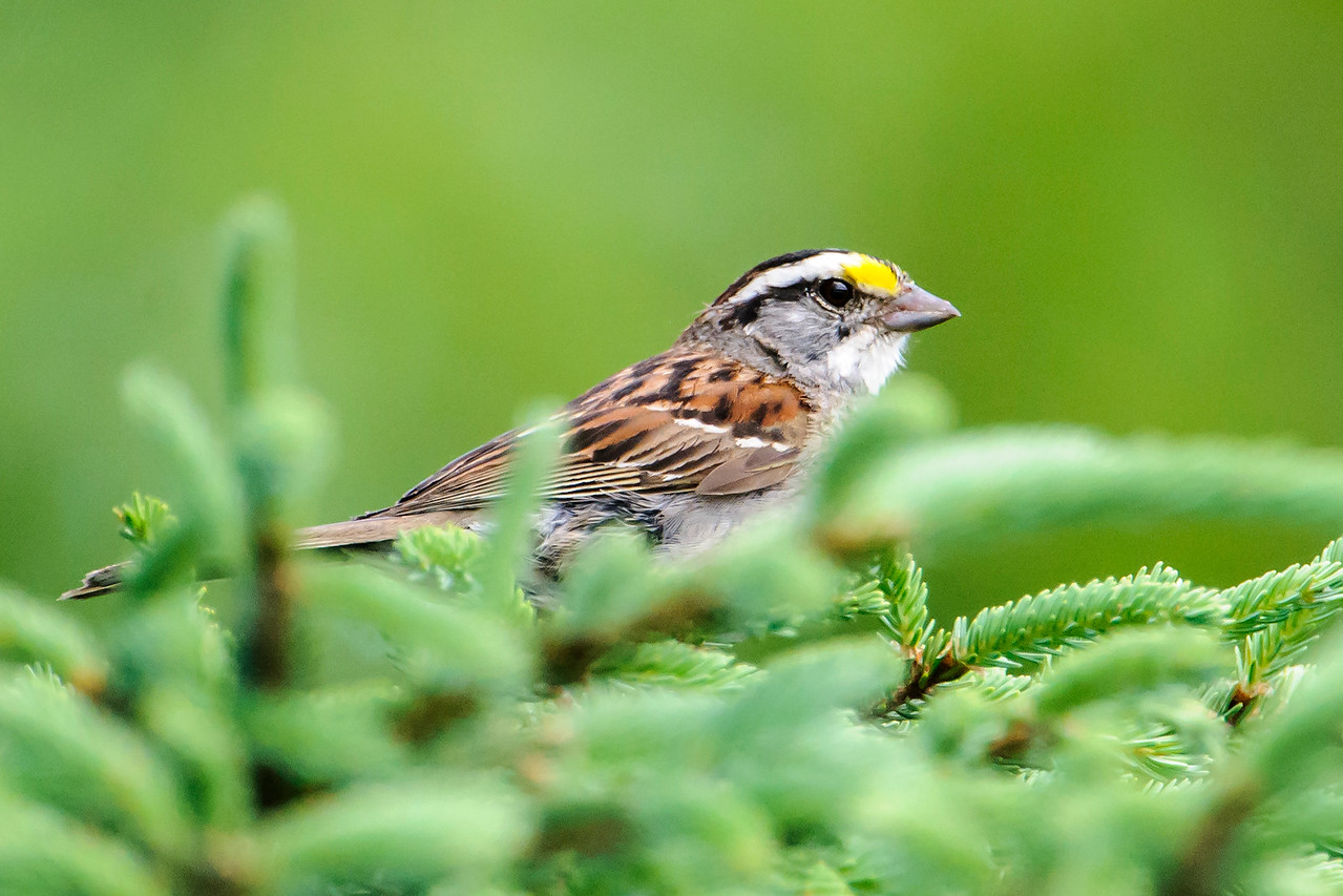 Sparrow - White-throated - Dunning Lake - Itasca County, MN