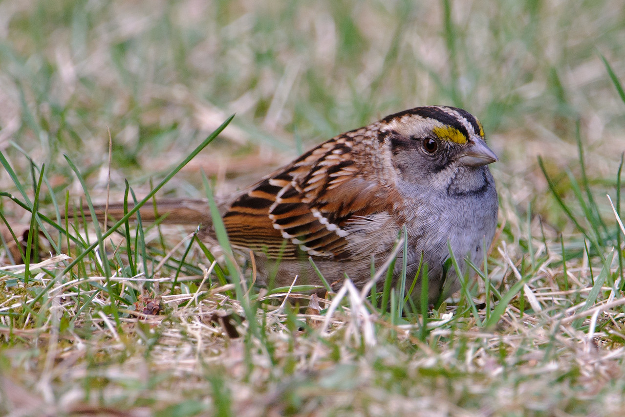Sparrow - White-throated - Dunning Lake, MN - 15