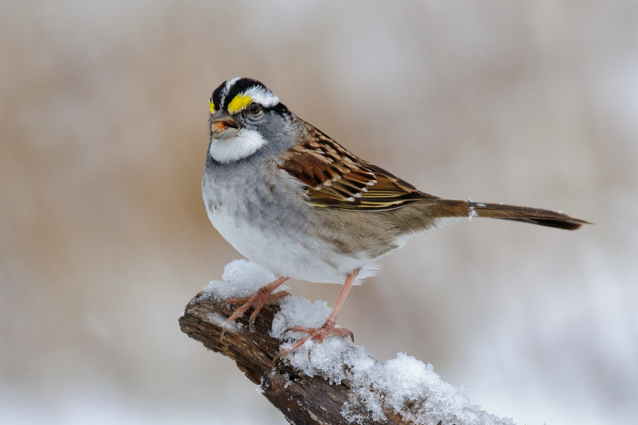 Sparrow - White-throated - Dunning Lake, MN - 10