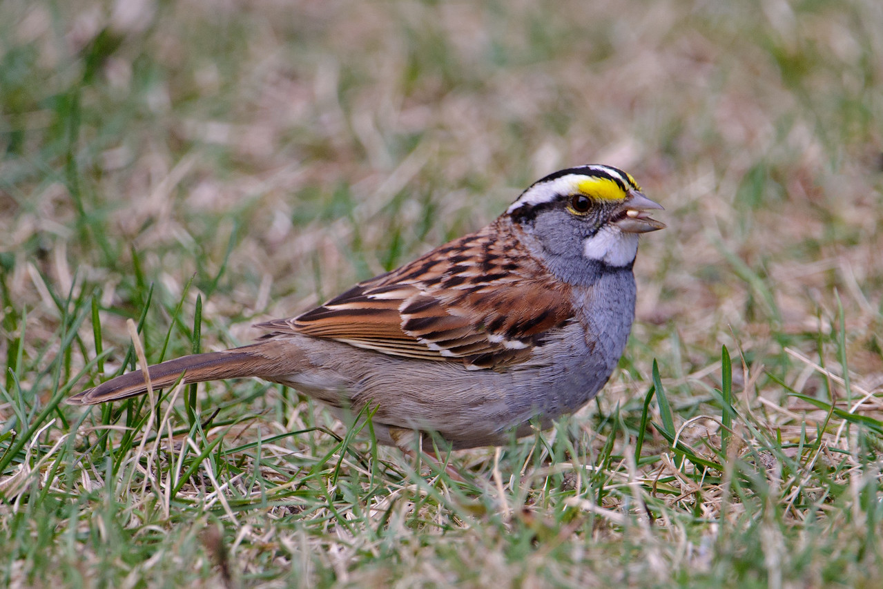 Sparrow - White-throated - Dunning Lake, MN - 16