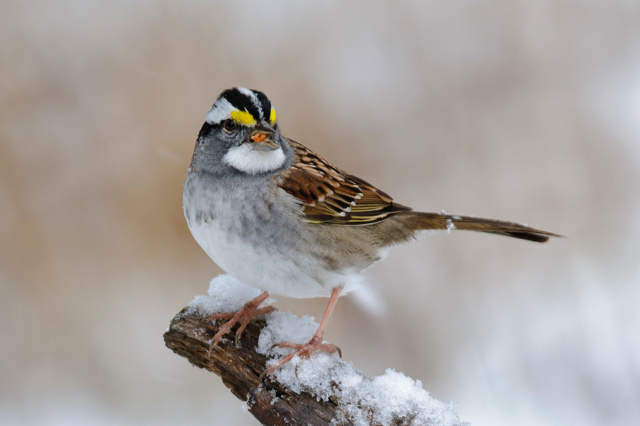 Sparrow - White-throated - Dunning Lake, MN - 12
