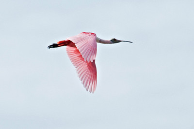 Spoonbill - Roseate - Ding Darling NWR - Sanibel Island, FL - 02