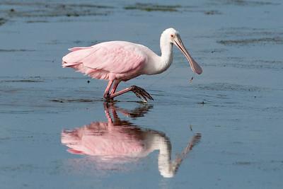 Spoonbill - Roseate - Ding Darling NWR - Sanibel Island, FL - 10