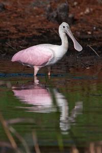 Spoonbill - Roseate - Lake Toho - Kissimmee, FL