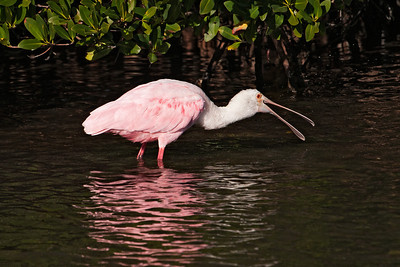 Spoonbill - Roseate - Ding Darling NWR - Sanibel Island, FL - 03