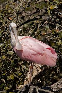 Spoonbill - Roseate - St. Augustine Alligator Farm - FL