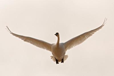 Swan - Trumpeter - Mud Goose WMA - MN - 01