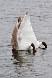 Swan - Trumpeter - Lake Vadnais - Vadnais Heights, MN - 07