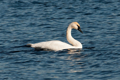 Swan - Trumpeter - Lake Vadnais - Vadnais Heights, MN - 01