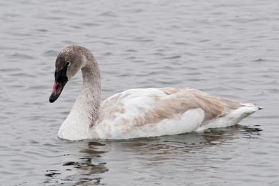 Swan - Trumpeter - juvenile - Lake Vadnais MN - 01