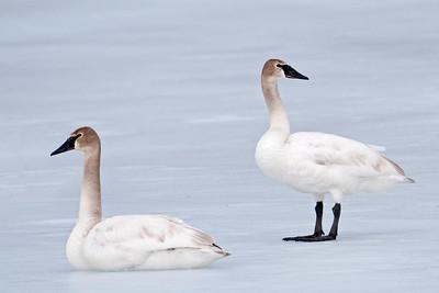 Swan - Trumpeter - juvenile - Mud Goose WMA - MN