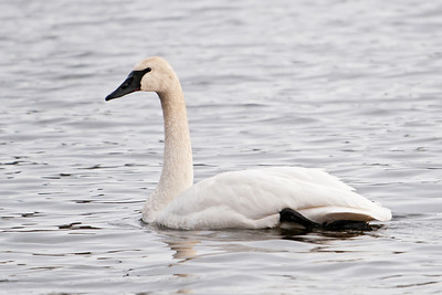 Swan - Trumpeter - Lake Vadnais - Vadnais Heights, MN - 04