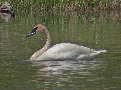Swan - Trumpeter - Dunning Lake, MN - 02