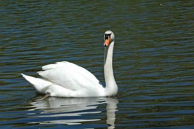 Swan - Mute - Strattford, Ontario Canada