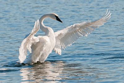 Swan - Trumpeter - Lake Vadnais - Vadnais Heights, MN - 10