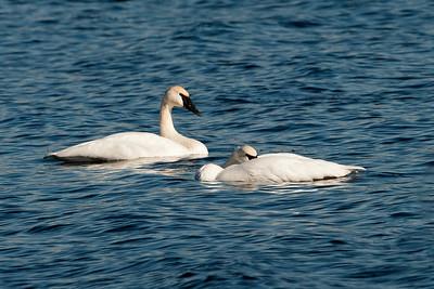 Swan - Trumpeter - Lake Vadnais - Vadnais Heights, MN - 03
