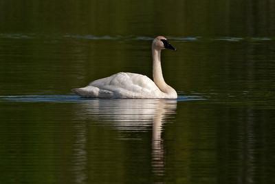 Swan - Trumpeter - Dunning Lake, MN - 03