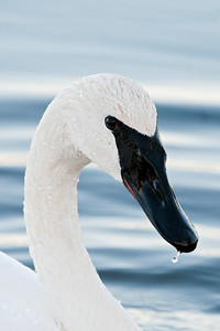 Swan - Trumpeter - Lake Vadnais - Vadnais Heights, MN - 09