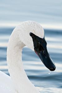 Swan - Trumpeter - Lake Vadnais - Vadnais Heights, MN - 09