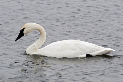 Swan - Trumpeter - Lake Vadnais - Vadnais Heights, MN - 05