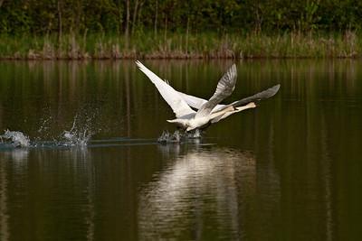 Swan - Trumpeter - Dunning Lake, MN - 04