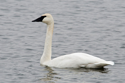 Swan - Trumpeter - Lake Vadnais - Vadnais Heights, MN - 06