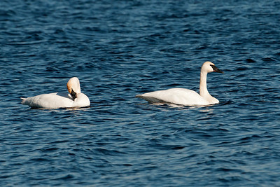 Swan - Trumpeter - Lake Vadnais - Vadnais Heights, MN - 02