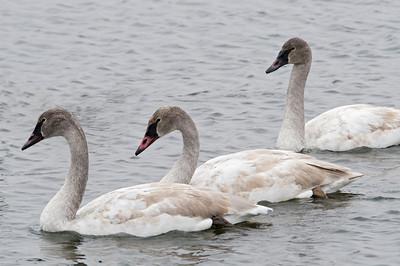 Swan - Trumpeter - juvenile - Lake Vadnais MN - 02