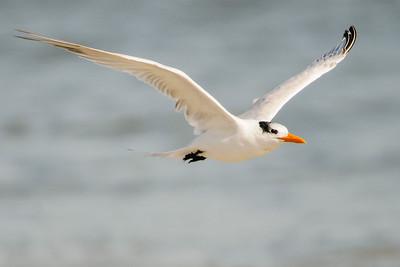 Tern - Royal - Fort Clinch - Amelia Island, FL