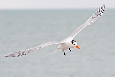 Tern - Royal - Blind Pass - Sanibel Island, FL - 05