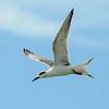 Tern - Forster's - Blind Pass - Sanibel Island, FL