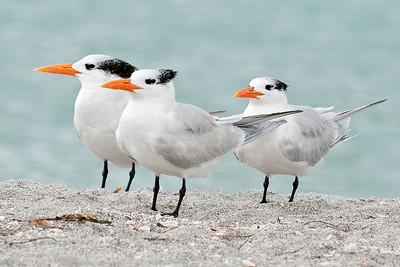 Tern - Royal - Blind Pass - Sanibel Island, FL - 03