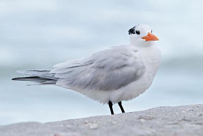 Tern - Royal - Blind Pass - Sanibel Island, FL - 02